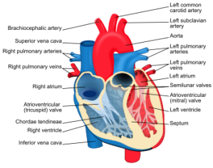Human body systems one world science human heart image wikipedia ccuart Gallery